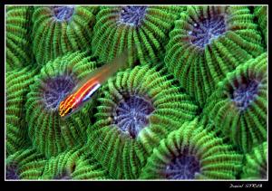 host goby on a green brain (?) coral ... by Daniel Strub
