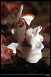 Clown frogfish seen in Dauin Bangka Wreck. The froggy was... by Daniel Strub