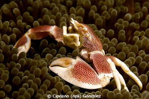 porcelain crab by Cipriano (ripli) Gonzalez
