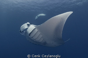 Dancing Mantas by Cenk Ceylanoglu