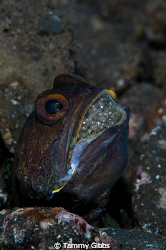 A jawfish with eggs in Tulamben, Bali. by Tammy Gibbs