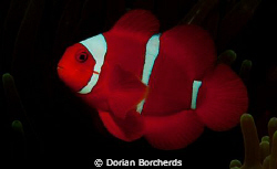 Spinecheek Anemone Fish.Used Nikon D300,SB 105 Strobe and... by Dorian Borcherds