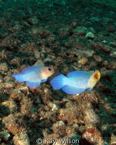 Yellow Head Jaw Fish - mating display. This is the fist t... by Kay Wilson
