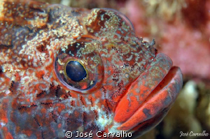Red-mouthed Goby - Gobius cruentatus - Sesimbra/Portugal ... by José Carvalho