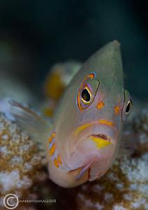 Ring-eye Hawkfish. Bunaken, Dec 2007. D200 60mm. by Mark Thomas