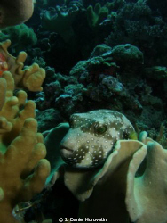 White Spotted Pufferfish resting by J. Daniel Horovatin
