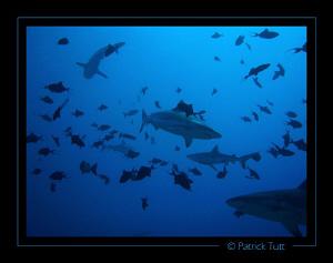Shark's ballet  - Sha'ab Rumi reef / Sudan - Lumix Fx01 by Patrick Tutt