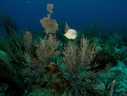 "Four Eye Buterfly fish swiming @ Reef.  Dive Site ""Hole i... by Frankie Rivera"