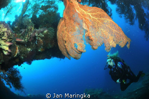 sea fan with diver in ship wreck by Jan Maringka