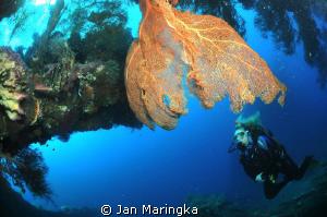 sea fan with diver in ship wreck by Jan Maringka