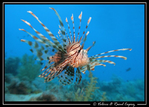 Flying Pterois :-) by Raoul Caprez