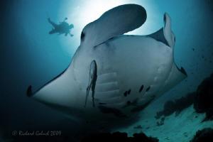Manta and a diver-Manta point Raja Ampat-Canon 5D MK II-1... by Richard Goluch