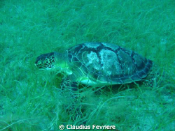 Green Turtle by Claudius Fevriere