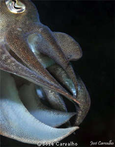 Different view of a Cuttlefish. Nikkor 105mm, 1/60s, f/18... by José Carvalho