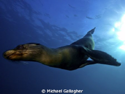 Galapagos sea lion streaks past - just a check out dive, ... by Michael Gallagher