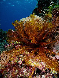 This image of a Golden Crinoid was taken while diving in ... by Steven Anderson