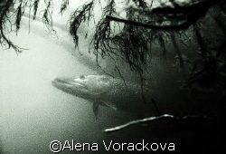 Late summer in dam Czech Republic, this pike was over 1 m... by Alena Vorackova