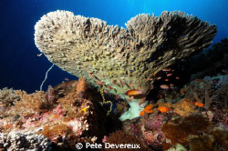 Underside of table coral by Pete Devereux