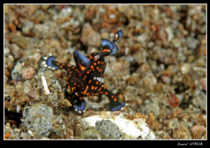 """a. pictus """"psychedelicus"""" :-D ... found in Dauin. By comp... by Daniel Strub"""