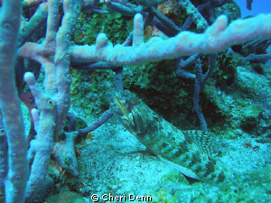 Lizard fish with teeth! by Cheri Denn