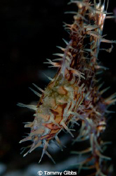 This ghost pipefish is brooding eggs in his pouch.  Tulam... by Tammy Gibbs