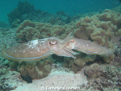 Cattle Fish - mating by Eschelle Knoesen