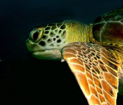 One of quite many turtles that survive in the Tobago cays... by Thomas Dinesen