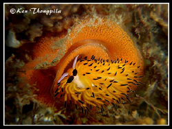 Nudibanch (Tsuruga Bay Favorinus) Laying Eggs at Fly Poin... by Ken Thongpila