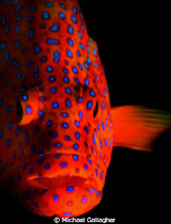 Coral trout on the Great Barrier Reef, single strobe port... by Michael Gallagher