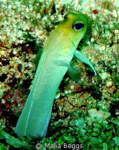 Slowly moved towards Yellow Head Jawfish before it retrac... by Malia Beggs