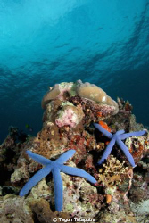starfish paradise, as this common site at Raja Ampat were... by Teguh Tirtaputra