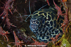 Durban shrimps dance around Moray by Aleksandr Marinicev