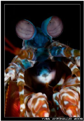 A clasic portrait of a peacock mantis shrimp for me today... by Yves Antoniazzo