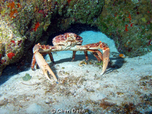 A very upset crab. by Cheri Denn