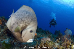 Cozumel wall dive, a gray angelfish checking my camera out by Javier Sandoval