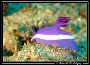 I'm a poor lonesome nudibranch ... and a long long way fr... by Raoul Caprez