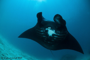 "Raja Ampat-Black Manta-""Darth Vader of The Ocean""-Canon 5... by Richard Goluch"