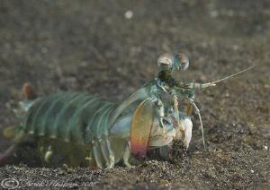 Peacock Mantis shrimp. Lembeh straits. D200, 60mm. by Derek Haslam