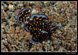 Juv. a. pictus - small but soooooo colorfull :-D - Thanks... by Daniel Strub