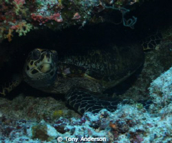 Turtle in hiding by Tony Anderson