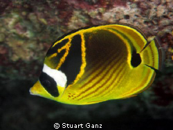 Raccoon Butterfly Fish by Stuart Ganz