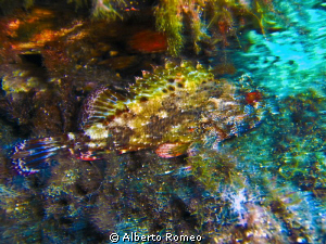 "A scorpionfish shotted with ""moved effect"" no PS. by Alberto Romeo"