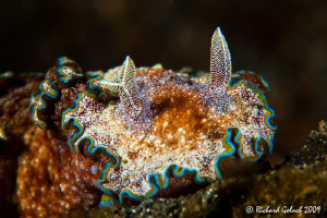 Lembeh Strait-Glossodoris Cincta with split rhinophore,no... by Richard Goluch