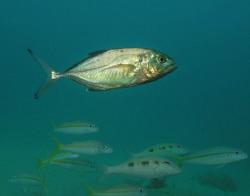 Green Jack (Carangoides caballus). Mt. Irvine Bay Tobago by Thomas Dinesen