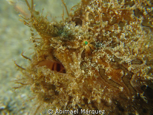 Triated Frogfish, with breathing, to give birth, Aguadill... by Abimael Márquez