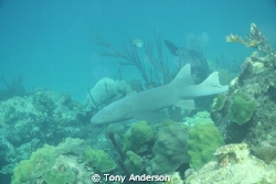 Nurse Shark by Tony Anderson