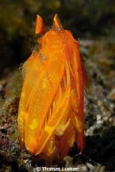 golden Mantis shrimp; Lembeh; D200 by Thomas Lueken