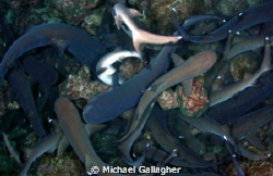 Whitetip reef shark feeding frenzy - night dive at Cocos ... by Michael Gallagher