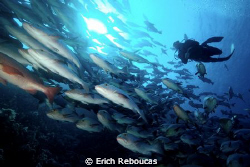 Diver and school of snappers, Shark Reef, Ras Mohamed Park. by Erich Reboucas