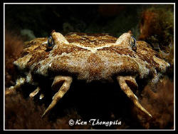 """Wobbegong"" On a night dive at Fly Point in Nelson Bay, A... by Ken Thongpila"